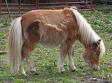 220px-Shetland_pony_moult1.jpg